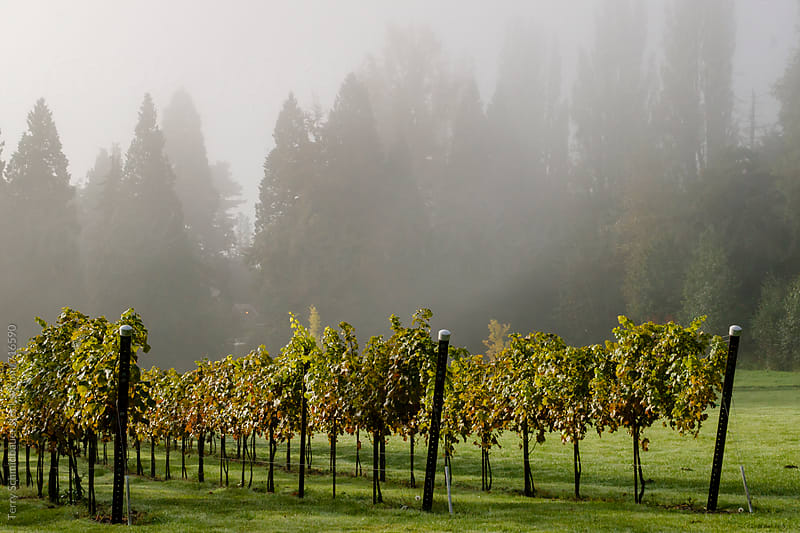 Vinyard in the Mist by Terry Schmidbauer for Stocksy United