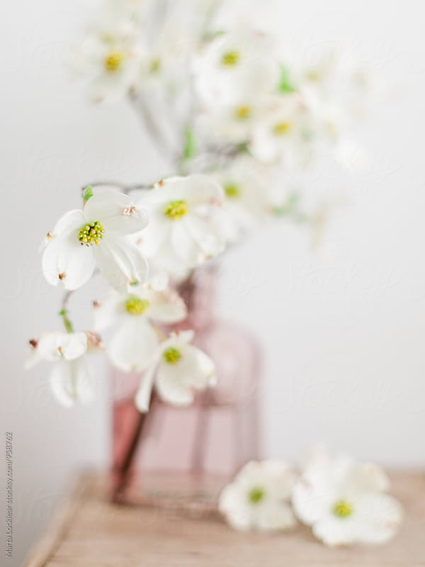 Dogwood Flowers  by Marta Locklear for Stocksy United