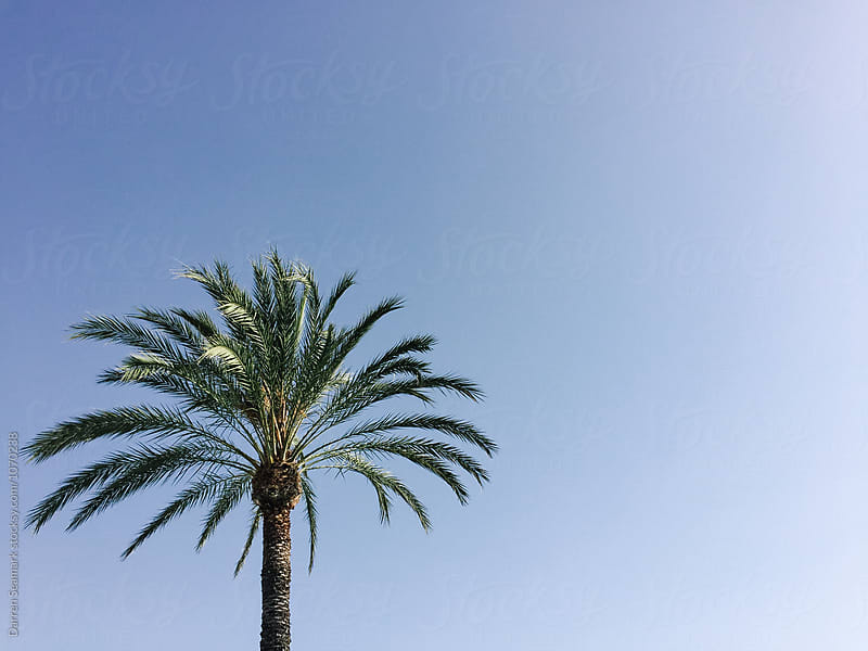 Palm tree and blue sky by Darren Seamark for Stocksy United