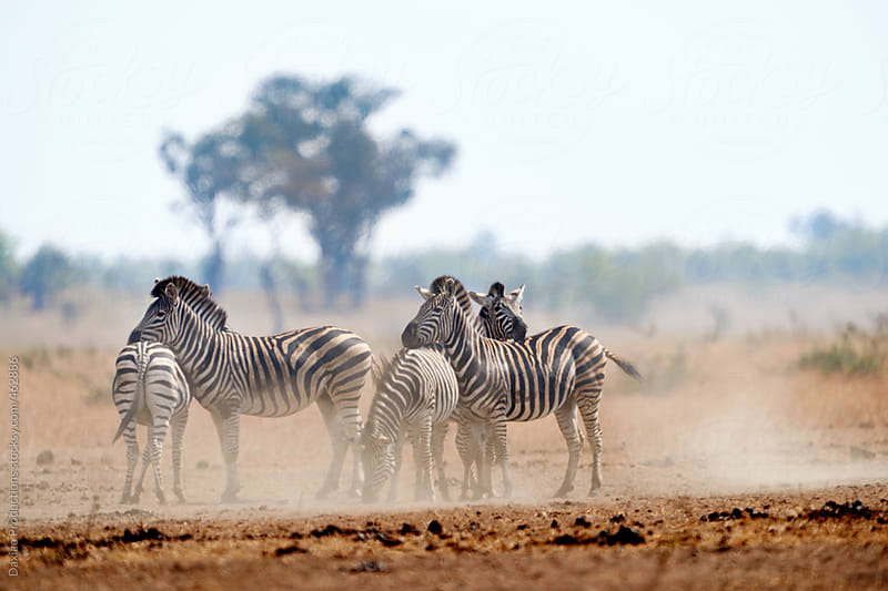 Zebra herd wild by Daxiao Productions for Stocksy United