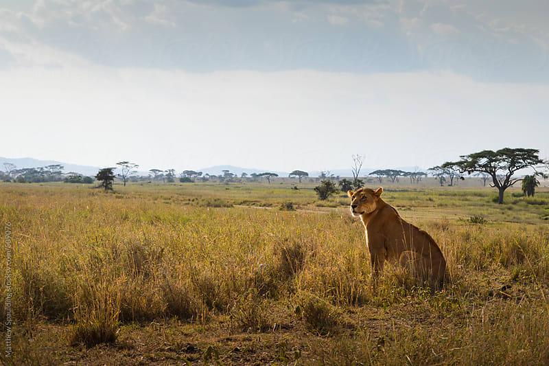 Lion looking over savannah territory on safari in Kenya by Matthew Spaulding for Stocksy United