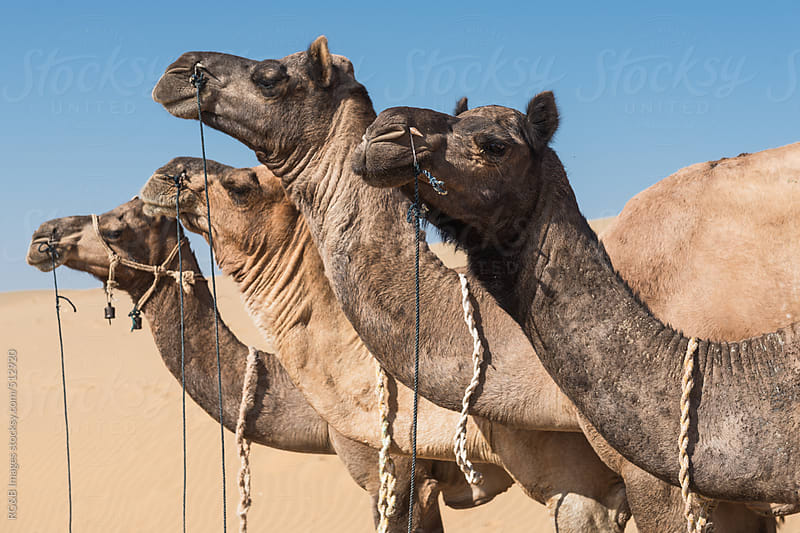 camels portrait by RG&B Images for Stocksy United