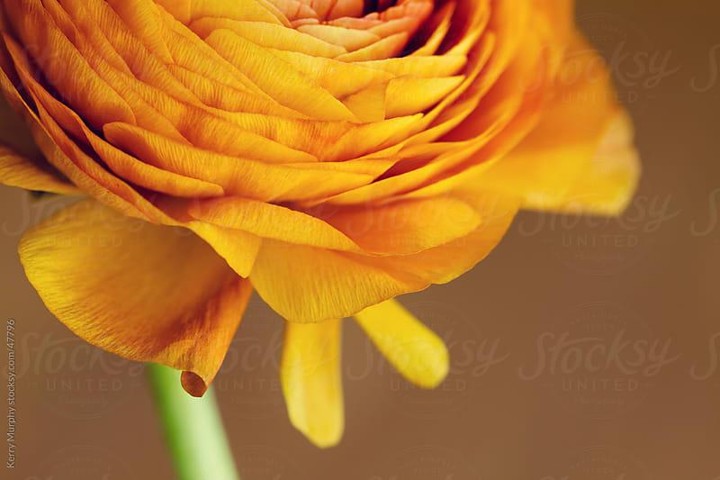 Macro of orange ranunculus flower bloom by Kerry Murphy for Stocksy United