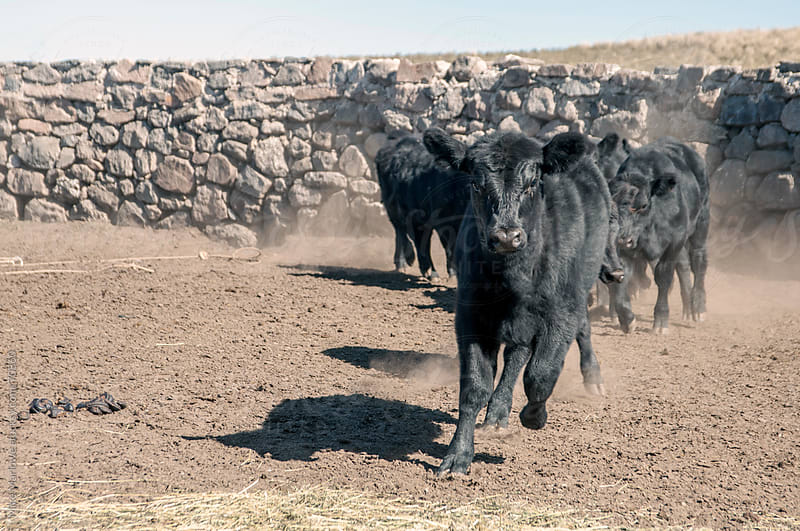 Group of young cows running to camera. by Mike Marlowe for Stocksy United
