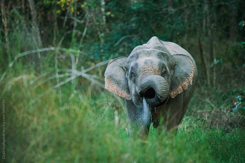 Elephant  by Chalit Saphaphak for Stocksy United