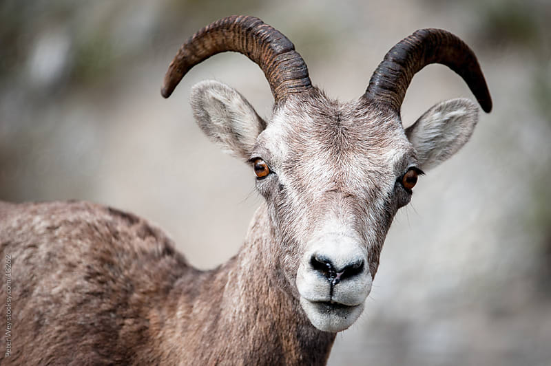 Wildlife: Head of male Bighorn Sheep (lat. Ovis canadensis) in Jasper National  by Peter Wey for Stocksy United