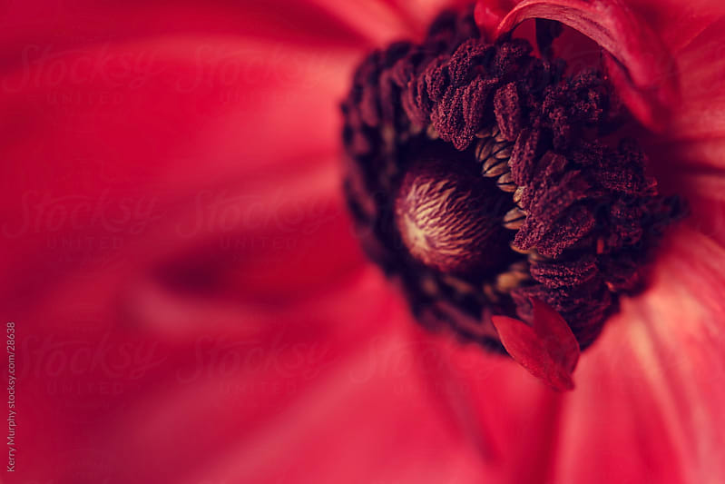 Macro of red ranunculus flower by Kerry Murphy for Stocksy United