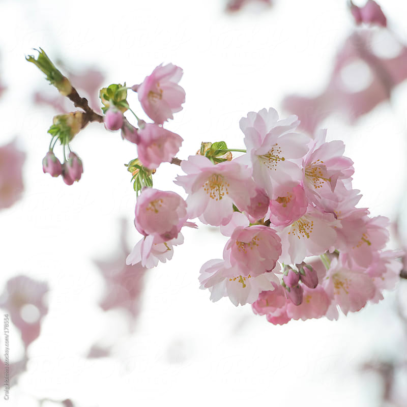Cherry blossom in bloom by Craig Holmes for Stocksy United