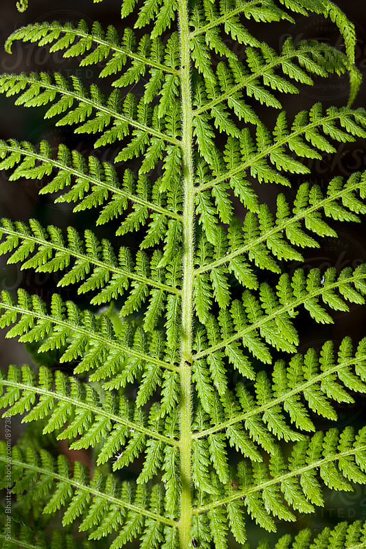 Close up of a fern. by Shikhar Bhattarai for Stocksy United