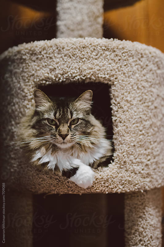 Cat portrait in her scratch tower by Cameron Whitman for Stocksy United