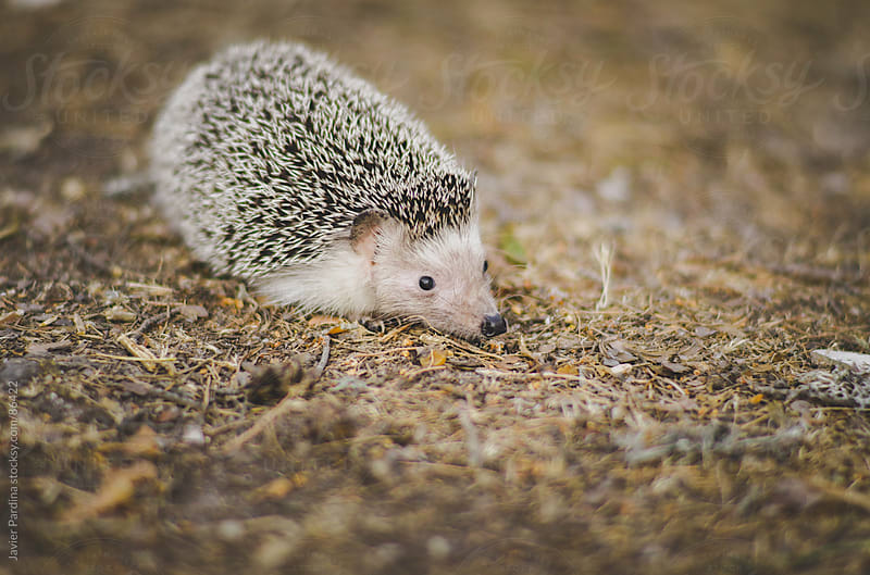 wild hedgehog in the forest by Javier Pardina for Stocksy United