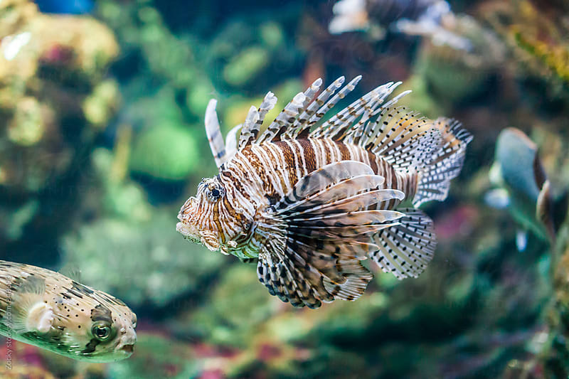 Lionfish by Zocky for Stocksy United