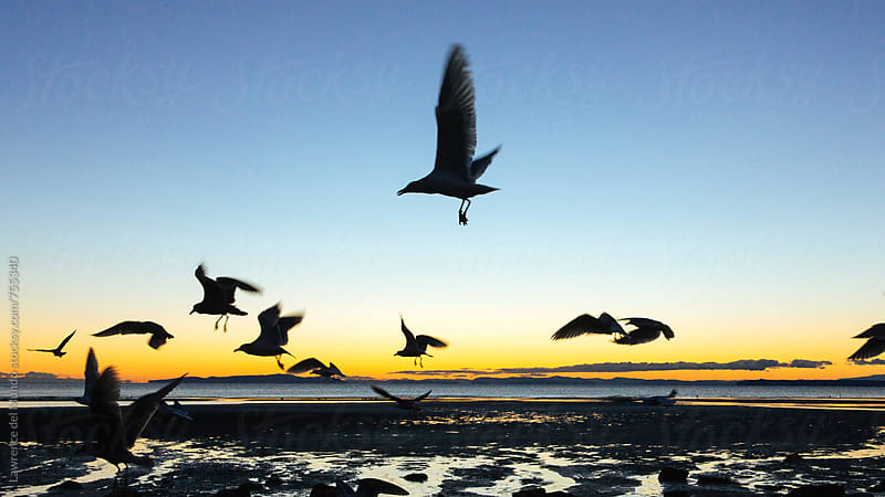 A flock of seagulls flying over the shore during sunset by Lawrence del Mundo for Stocksy United