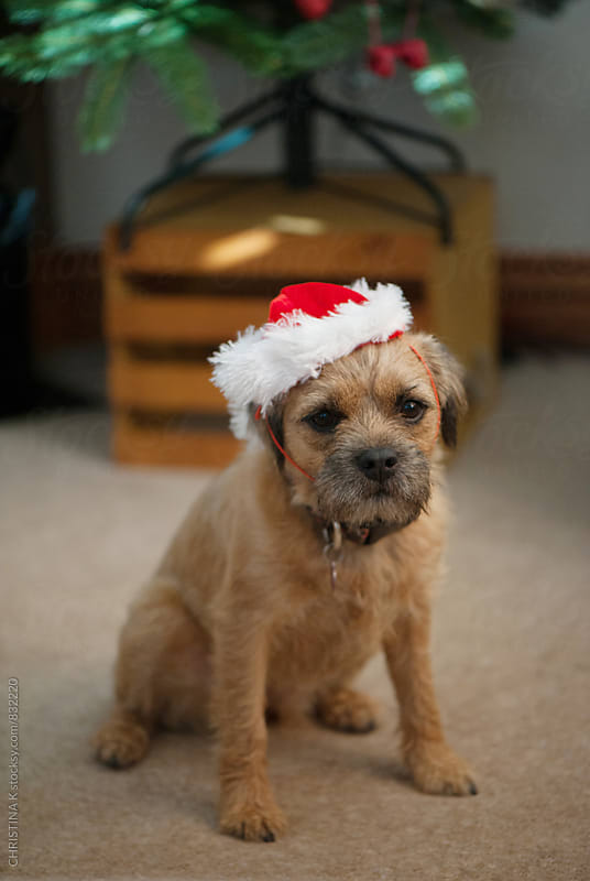 Dog in a Santa hat by CHRISTINA K for Stocksy United