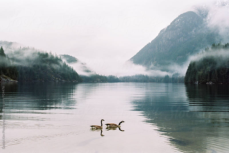 Two geese swimming in lake by Daniel Kim Photography for Stocksy United