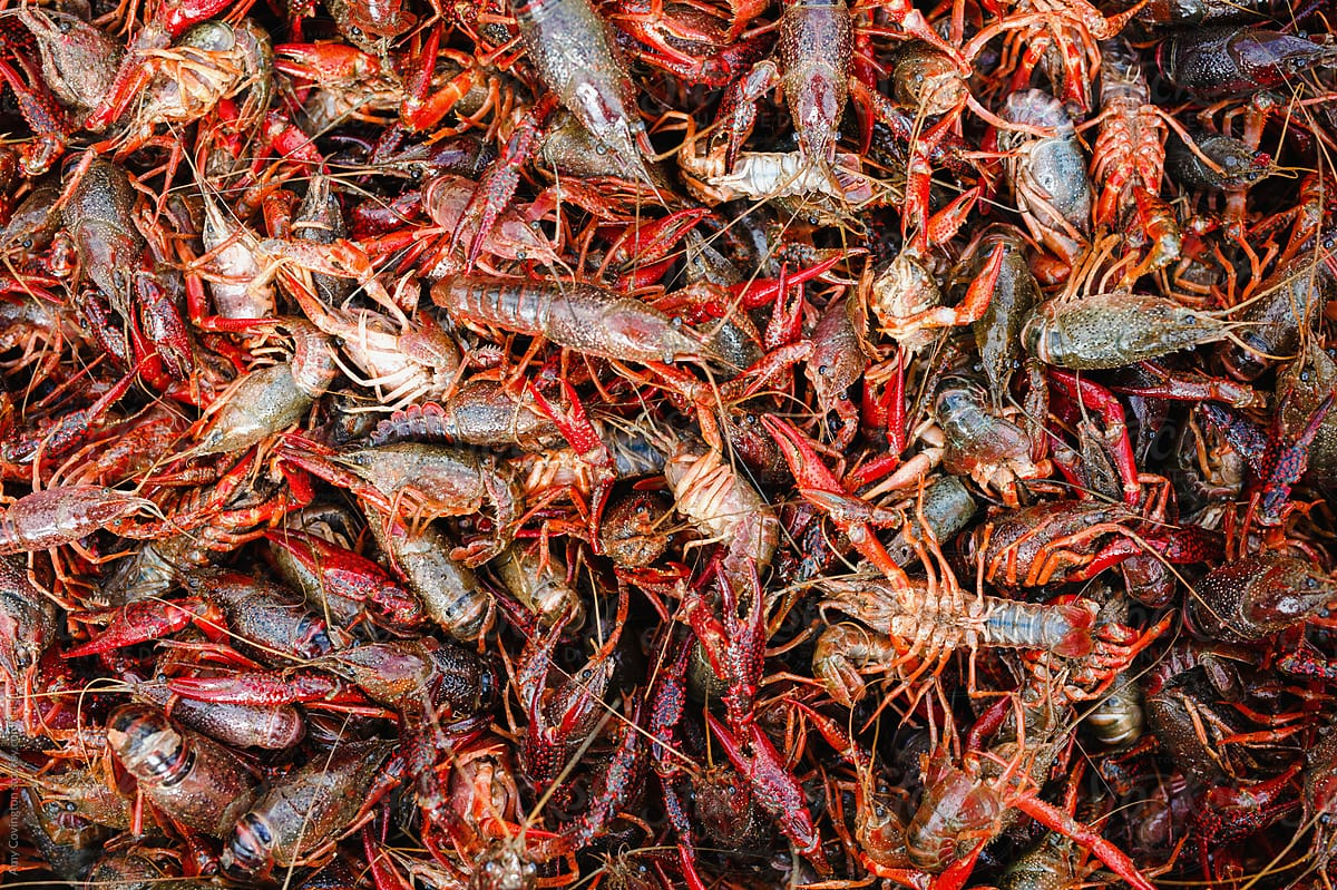Close Up Of Uncooked Crayfish Stocksy United