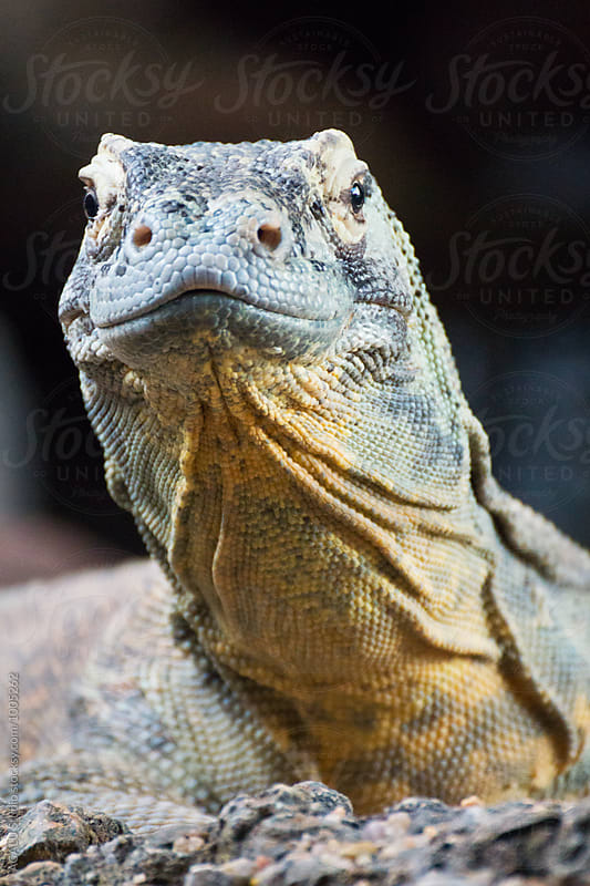 Portrait of a Komodo Dragon by ACALU Studio for Stocksy United