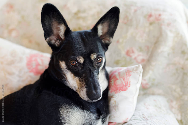 Dog laying in cozy position on pillow on armchair by Laura Stolfi for Stocksy United