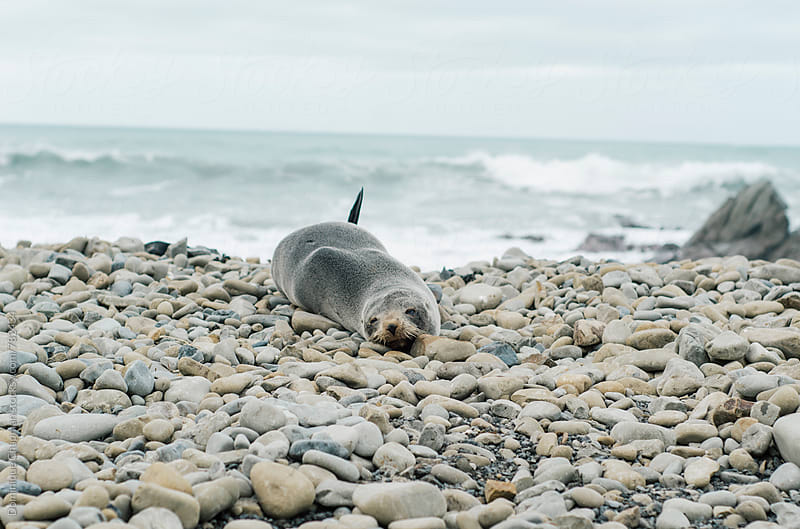 New Zealand fur seals on a rocky beach by Dominique Chapman for Stocksy United