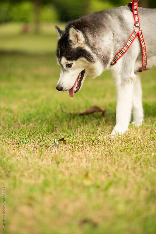 Husky dog walking on grassland  by Lawren Lu for Stocksy United