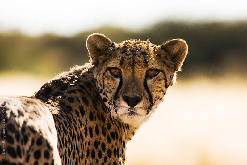 The gaze of a cheetah by Jonatan Hedberg for Stocksy United