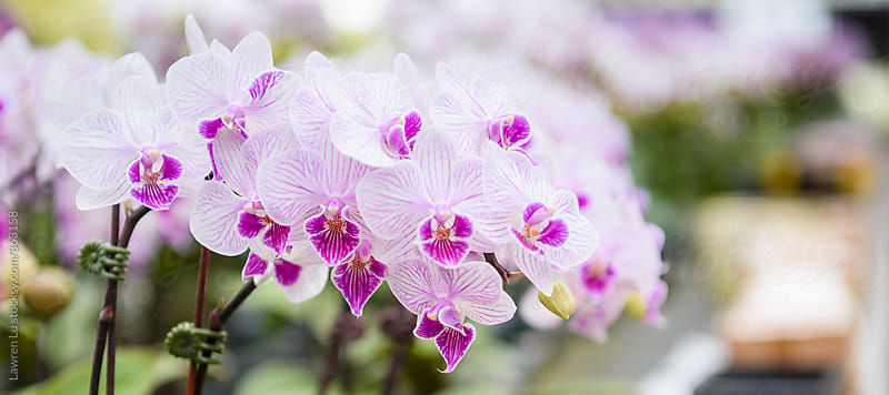 Closeup of pink and purple moth orchid by Lawren Lu for Stocksy United