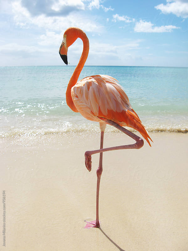 Pink flamingo standing on a tropical beach in the Caribbean.