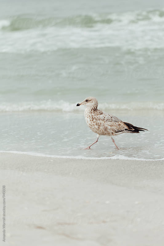 A bird walking along the seashore by Amanda Worrall for Stocksy United