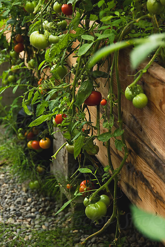 Tomato plants spilling down by Tari Gunstone for Stocksy United