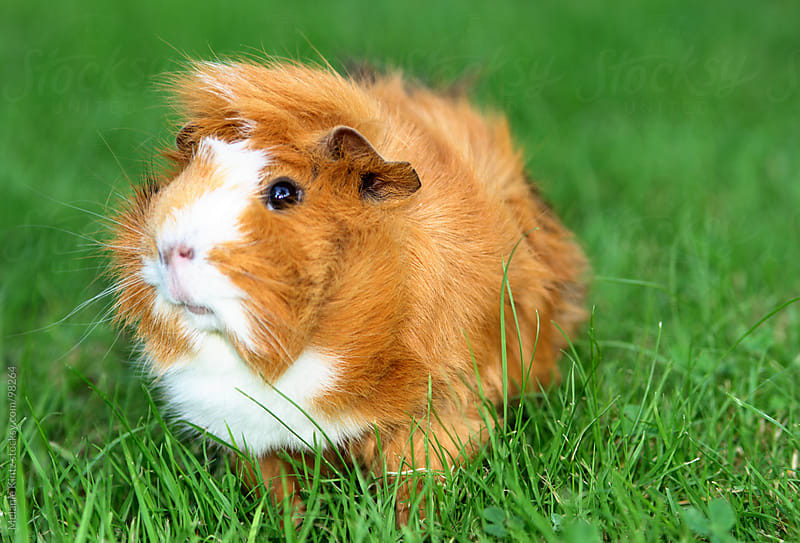 Brown and white guinea pig on grass by Melanie Kintz for Stocksy United