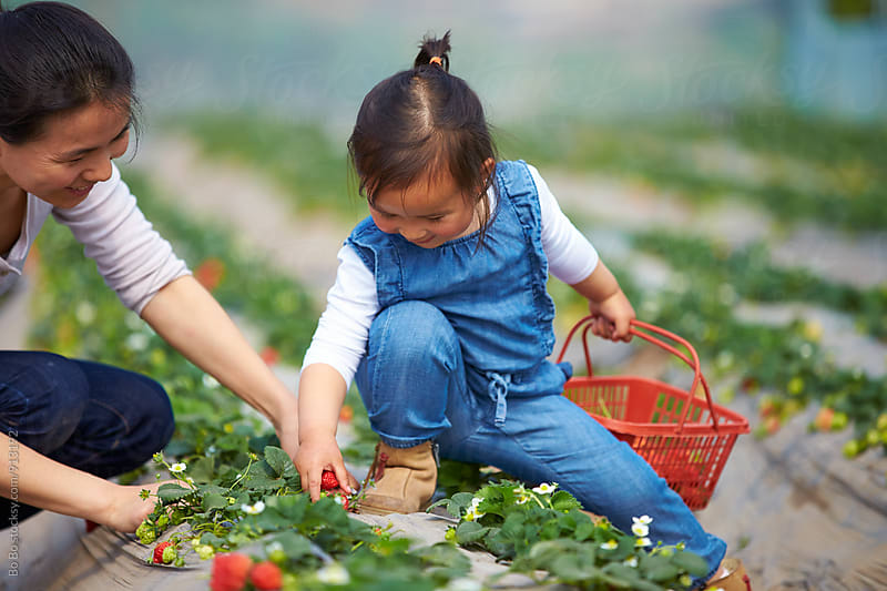 little asian girl picking strawberry with her mother outoor by cuiyan Liu for Stocksy United