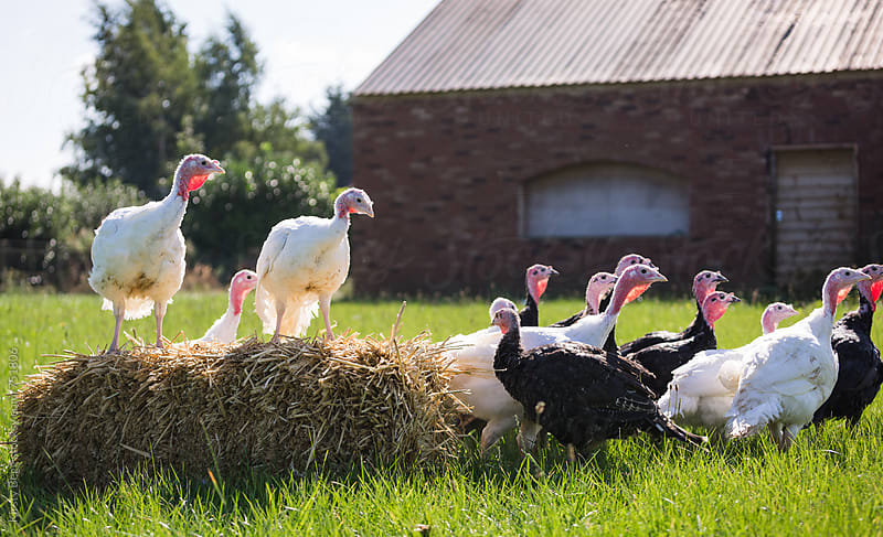 Group of mixed turkeys outside on farm around a hay bale by Kirsty Begg for Stocksy United