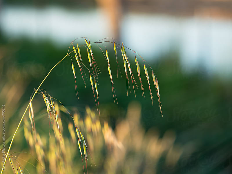 Close up of Grass  by Gary Radler Photography for Stocksy United