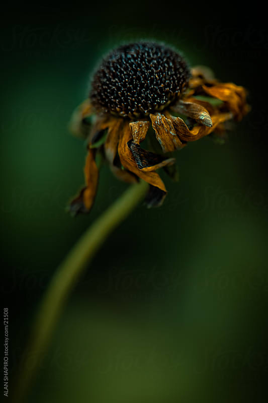 a worn out black-eyed susan by alan shapiro for Stocksy United
