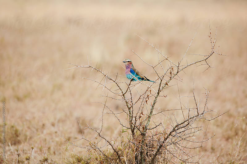 lilac-breasted roller bird in Tanzania by Cameron Zegers for Stocksy United