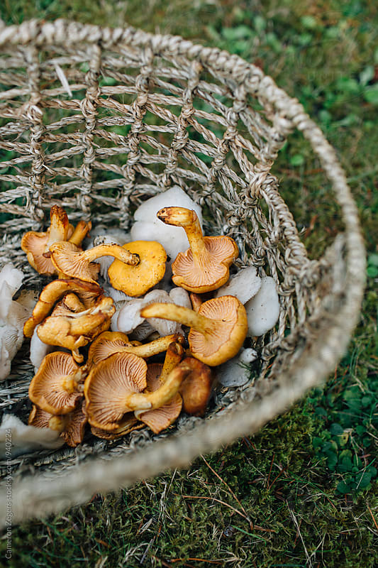 basket with wild chanterelle and oyster mushrooms by Cameron Zegers for Stocksy United