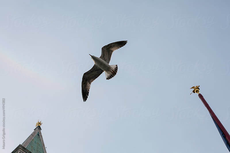 Seagull flying over Venice by Mauro Grigollo for Stocksy United
