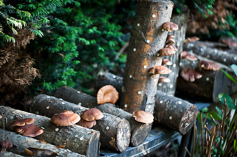 Shiitake Mushroom Logs by Jill Chen for Stocksy United