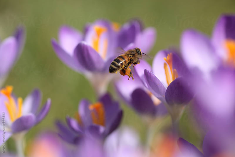 Bee with nectar, flying between crocus flowers by Marcel for Stocksy United