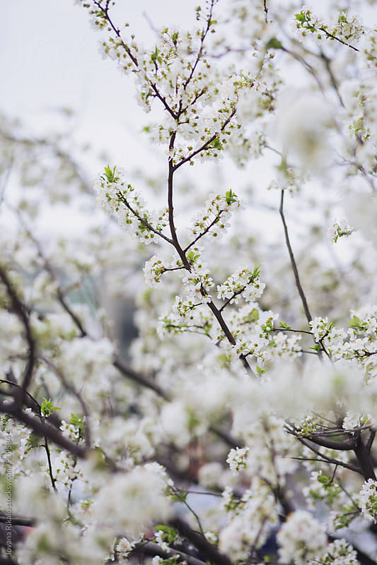 Cherry Blossom Tree by Jovana Rikalo for Stocksy United