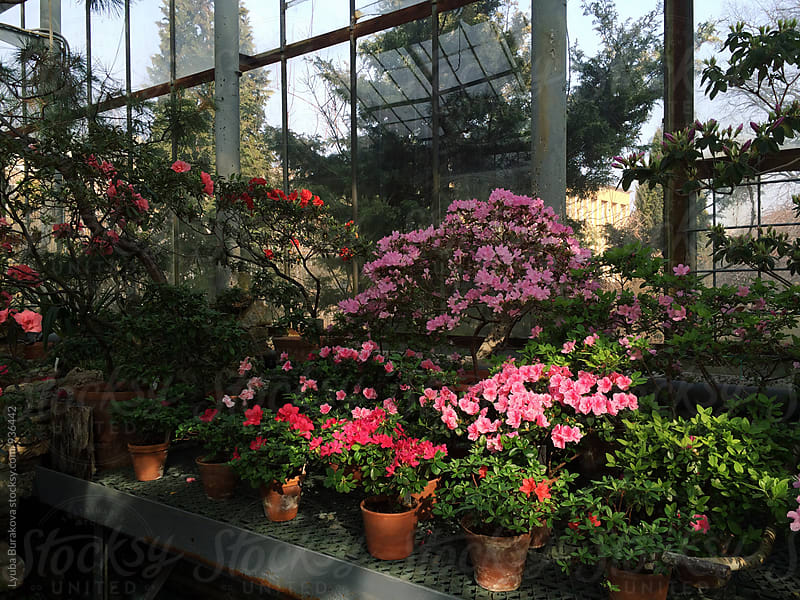 Azalea in blossom in glasshouse by Lyuba Burakova for Stocksy United
