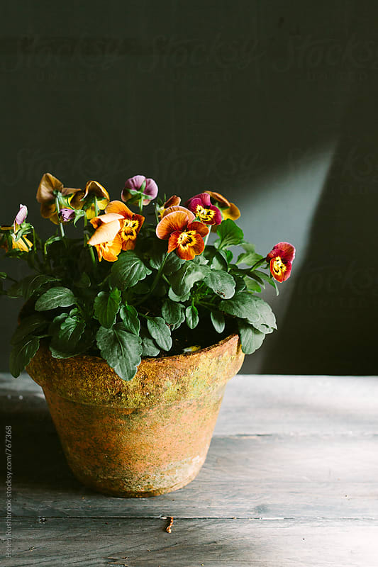 Violas in a worn clay pot. by Helen Rushbrook for Stocksy United