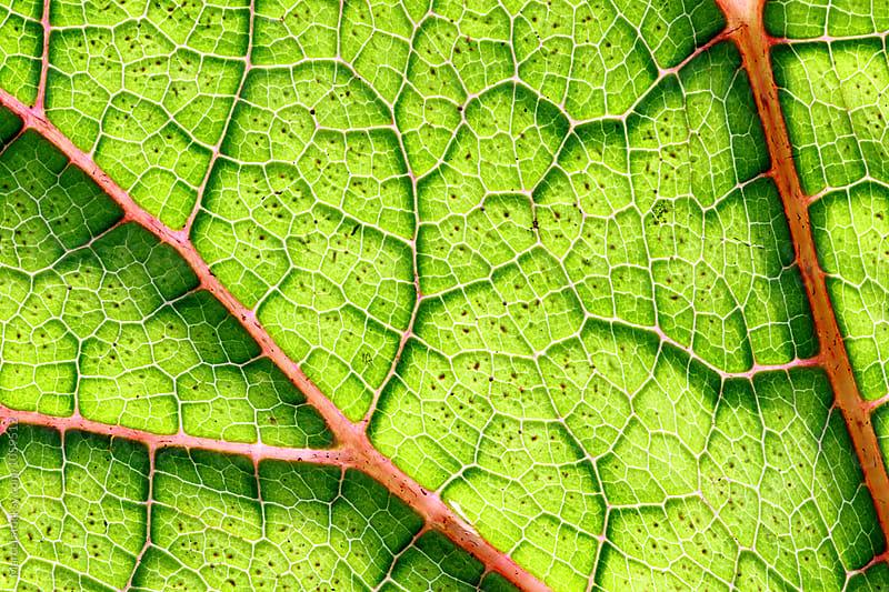 leaf macro by Marcel for Stocksy United