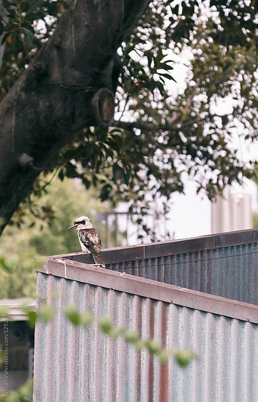 kookaburra on a tin fence by Gillian Vann for Stocksy United