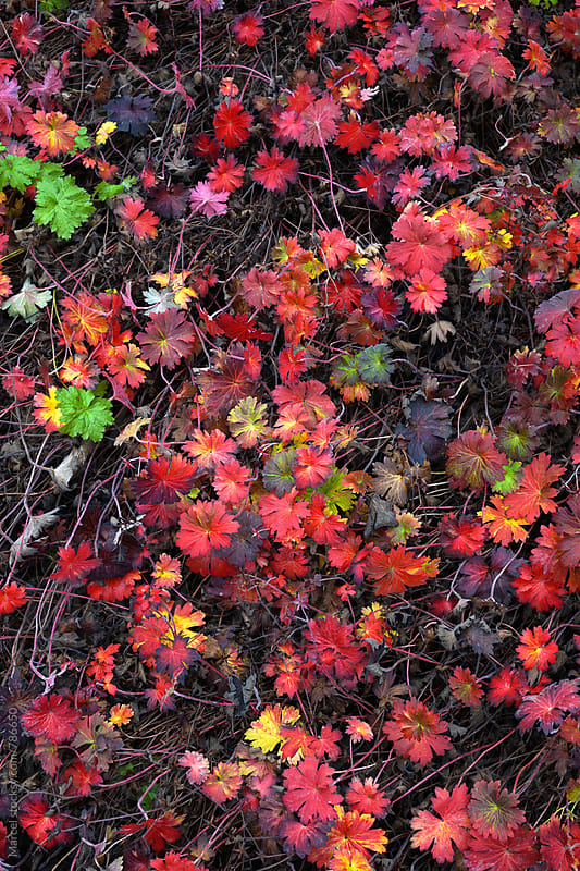 carpet of geranium plants turning red in october by Marcel for Stocksy United