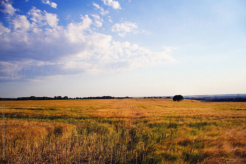 A field of ripe barley with a lone oak tree. by Helen Rushbrook for Stocksy United