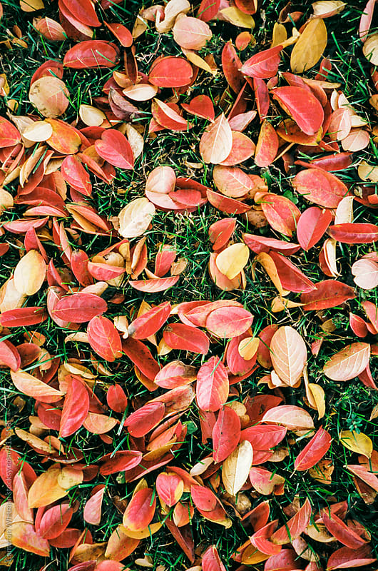 Red Leaves On Green Grass by Cameron Whitman for Stocksy United