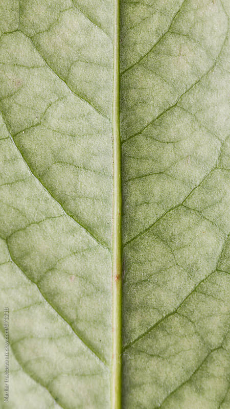 Leaf surface at extreme close-up by Marilar Irastorza for Stocksy United