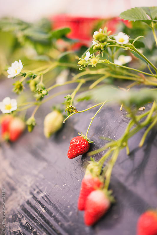 fresh natural organic strawberries by Miss Rein for Stocksy United