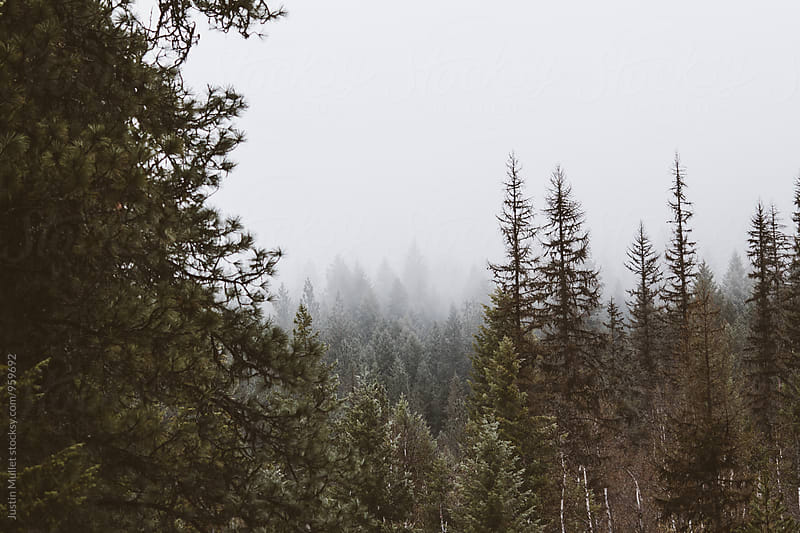 Fog covered pine trees on mountain side.  by Justin Mullet for Stocksy United